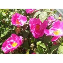 Sirop de rose  bio