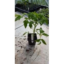 Plant de tomate noire Russe...