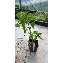 Plant de tomate Ananas Bio