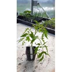 Plant de tomate Coeur de...