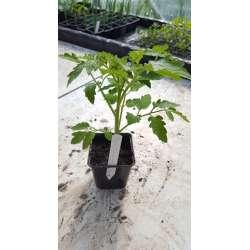 Plant de tomate Calabash...
