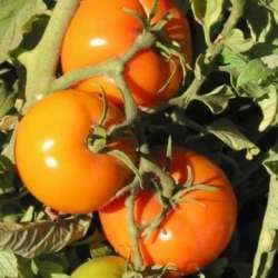 plant tomate ancienne :...