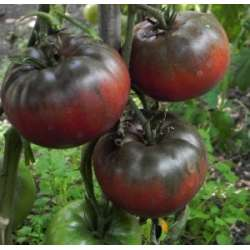 Plant tomate ancienne:...