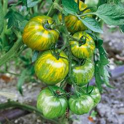 Plant tomate ancienne...