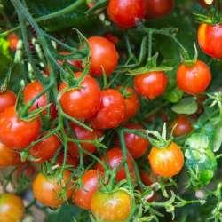 plant tomate cerise: cerise...
