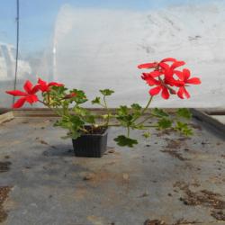 Géranium lierre simple rouge