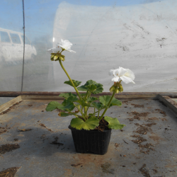 géranium zonal blanc