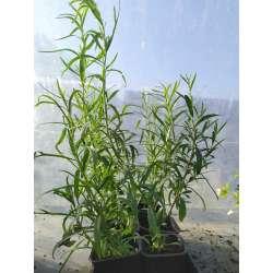 Plant Aromate Estragon Bio