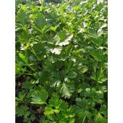 Plants Aromate Persil Bio