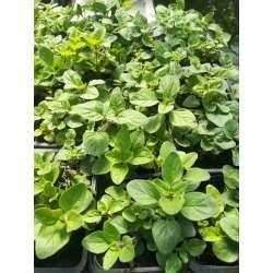 Plant Aromate Origan Bio