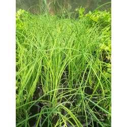 Plant Aromate Ciboulette Bio